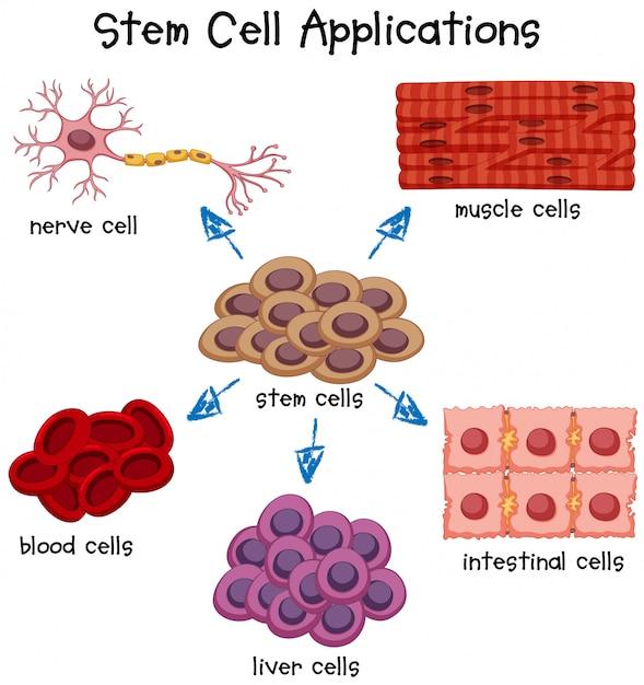 Affiche montrant différentes applications de cellules souches Vecteur gratuit