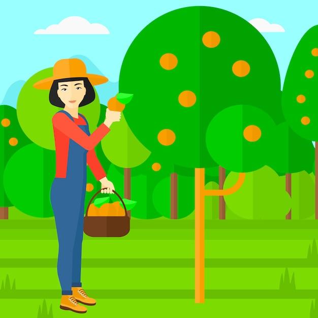 Agriculteur ramassant des oranges. Vecteur Premium