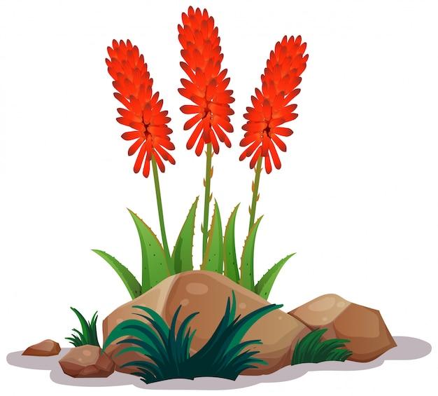Aloe vera avec des fleurs sur fond blanc Vecteur gratuit