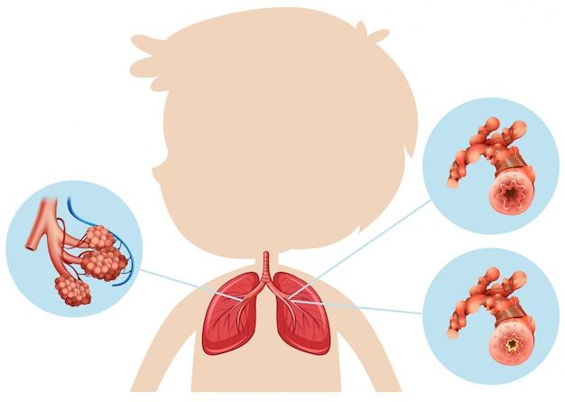 Anatomie d'un garçon poumon Vecteur gratuit