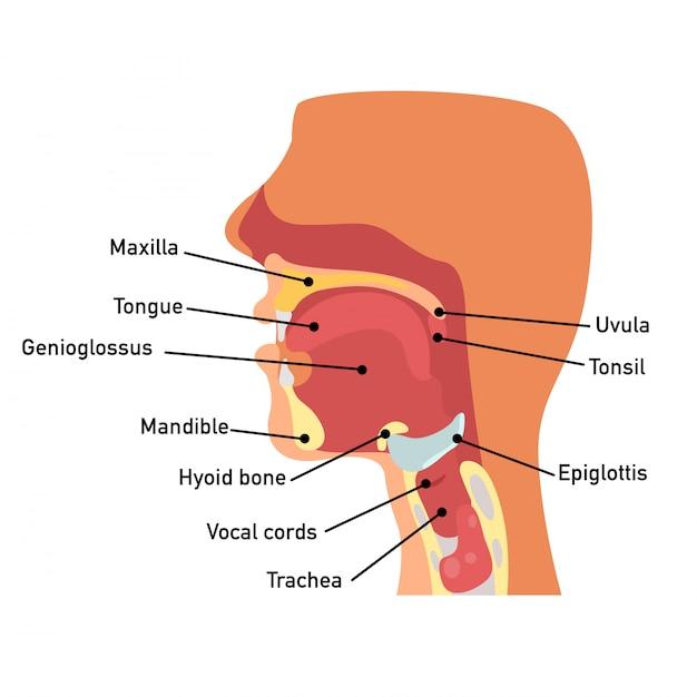 Anatomie De La Gorge Vecteur Premium