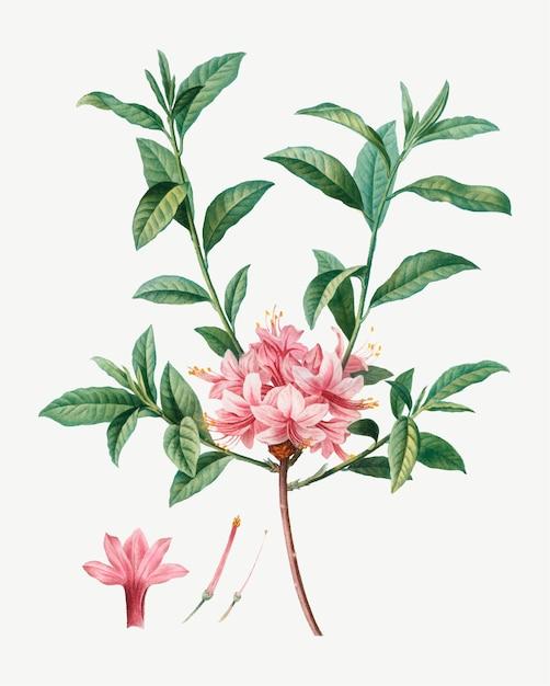 Azalée En Fleurs Vecteur gratuit