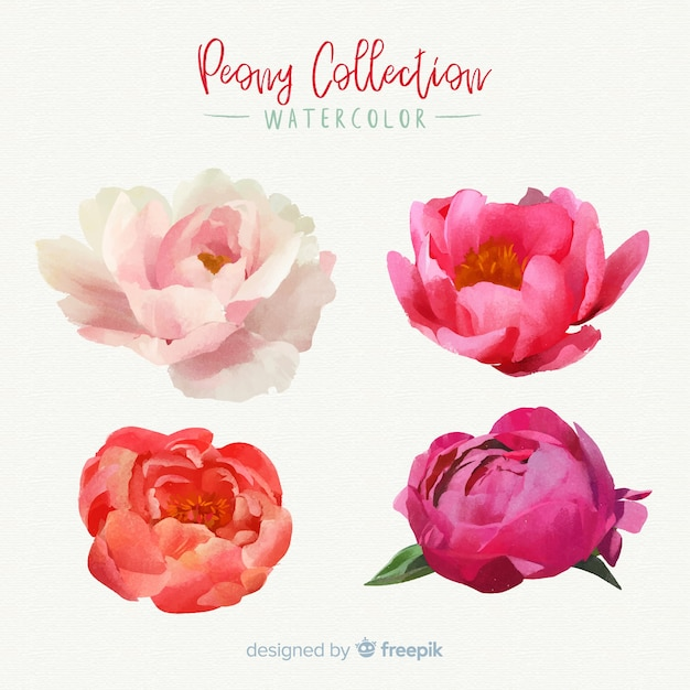 Belle Collection De Fleurs De Pivoine Vecteur gratuit