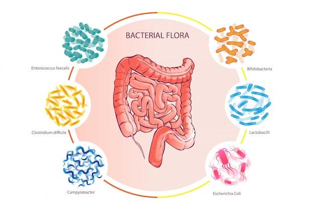 Bonne flore bactérienne illustration vecteur côlon humain Vecteur Premium