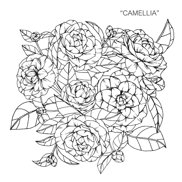 Bouquet De Camelia Fleur Dessin Illustration Telecharger Des