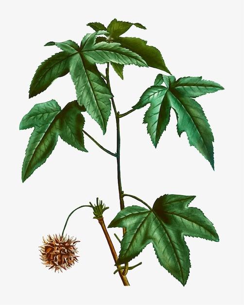 Branche d'arbre de sweetgum Vecteur gratuit
