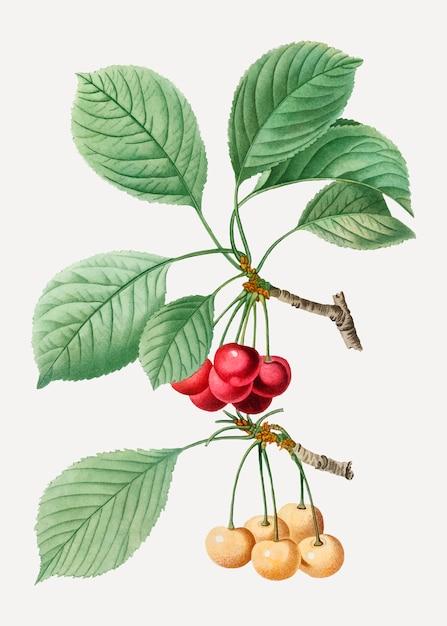 Branche de cerisier Vecteur gratuit