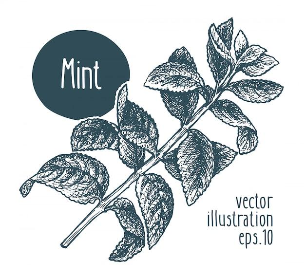 Branche de menthe. illustration vectorielle dessinés à la main. Vecteur Premium