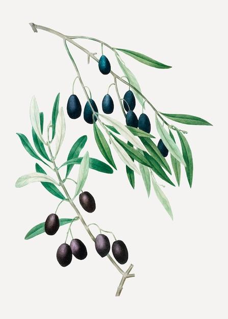 Branche d'olivier Vecteur gratuit