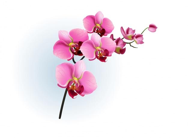 Branche D'orchidée Rose. Phalaenopsis, Fleur, Plante D'intérieur. Vecteur gratuit