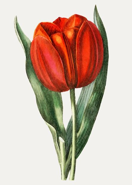 Branche de tulipes vintage gesner pour la décoration Vecteur gratuit