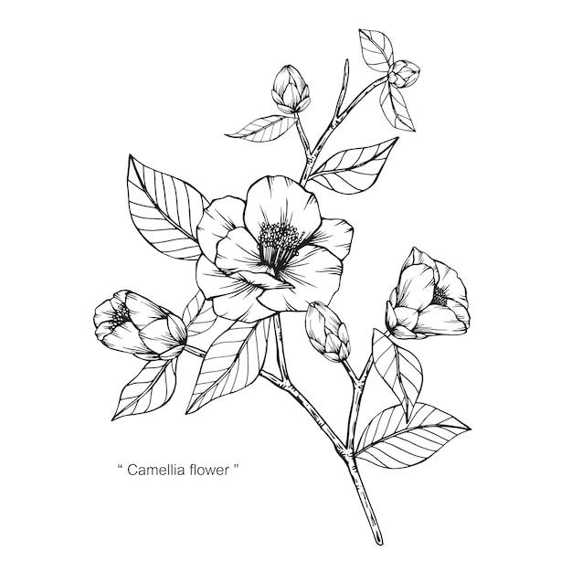 Camelia Japonica Illustration De Dessin De Fleur Telecharger Des