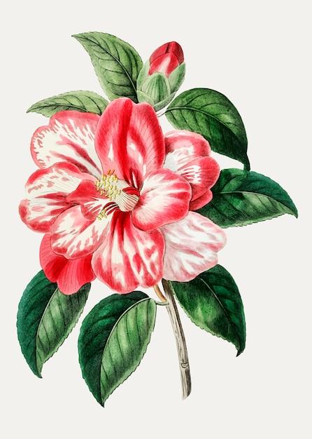Camélia rose Vecteur gratuit