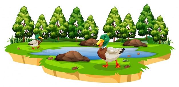 Canards autour d'un étang sur blanc Vecteur gratuit
