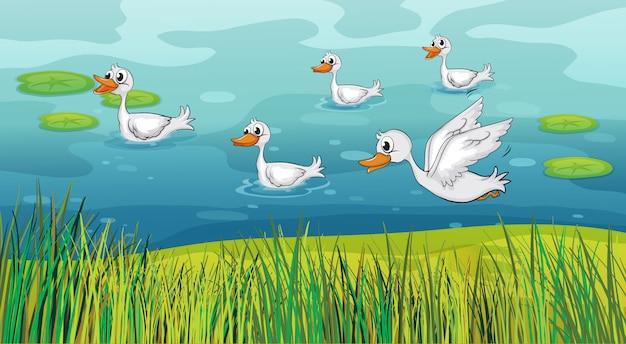 Canards à la recherche d'aliments Vecteur gratuit