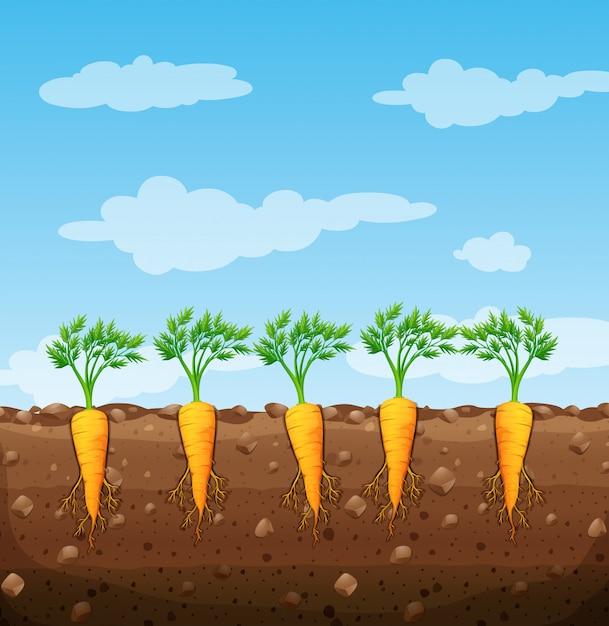 Carottes qui poussent sous terre avec des racines Vecteur Premium