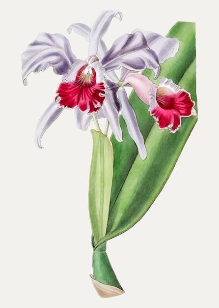 Cattleya cramoisi Vecteur gratuit