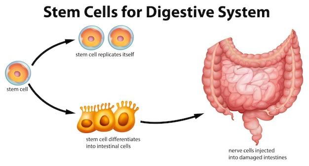 Cellules Souches Pour Le Système Digestif Vecteur gratuit