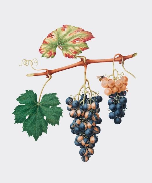 Cépage d'été de pomona italiana (1817 - 1839) illustration Vecteur gratuit