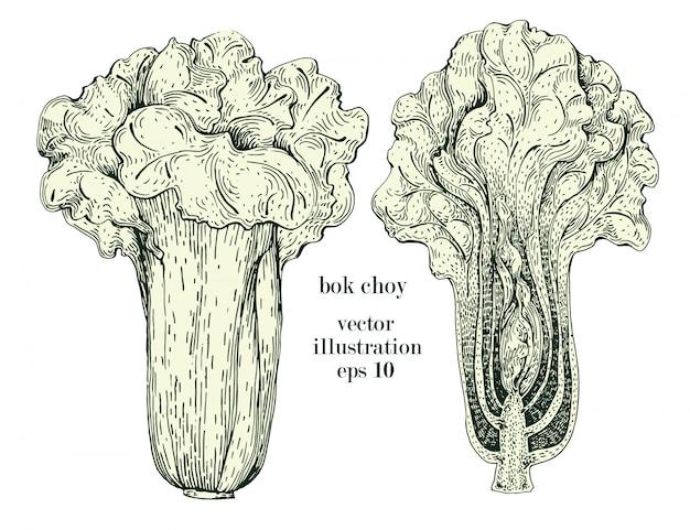 Chou chinois, bok choy dessinés à la main vector illustration ensemble. objet de style gravé vintage de légumes. peut être utilisé pour le menu, l'étiquette, le marché agricole Vecteur Premium