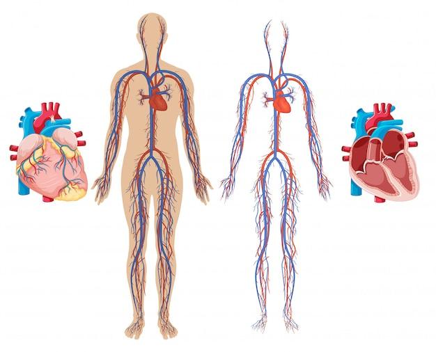 Coeur humain et système cardiovasculaire Vecteur Premium