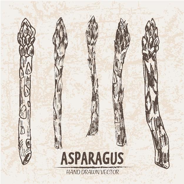 Collection extraite à la main d'aspargus Vecteur gratuit