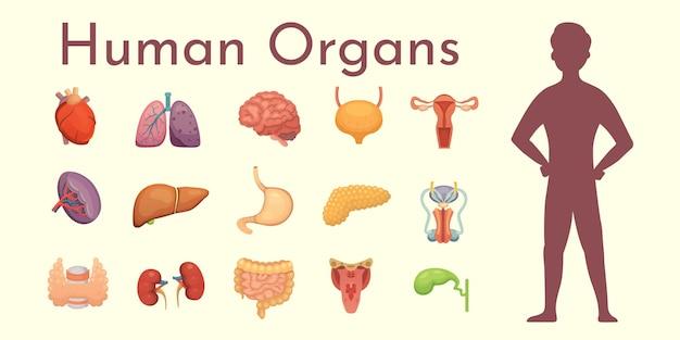 Collection D'organes Internes En Style Cartoon. Anatomie Du Corps Humain. Vecteur Premium