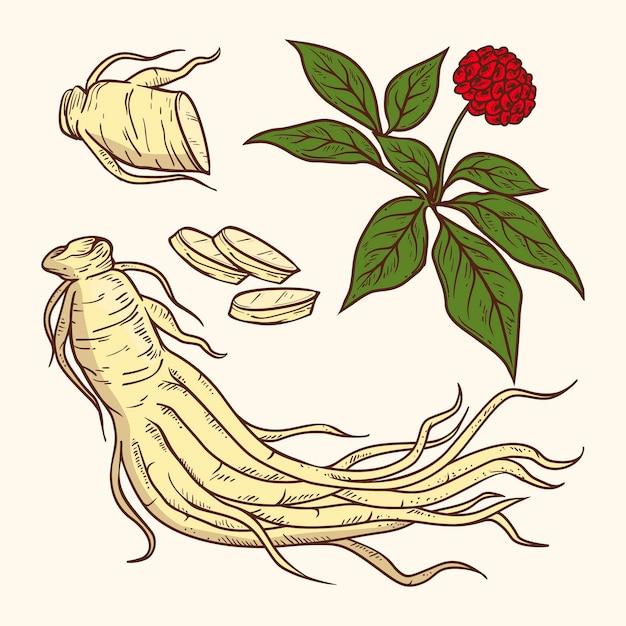 Collection De Plantes De Ginseng Dessinés à La Main Réaliste Vecteur gratuit