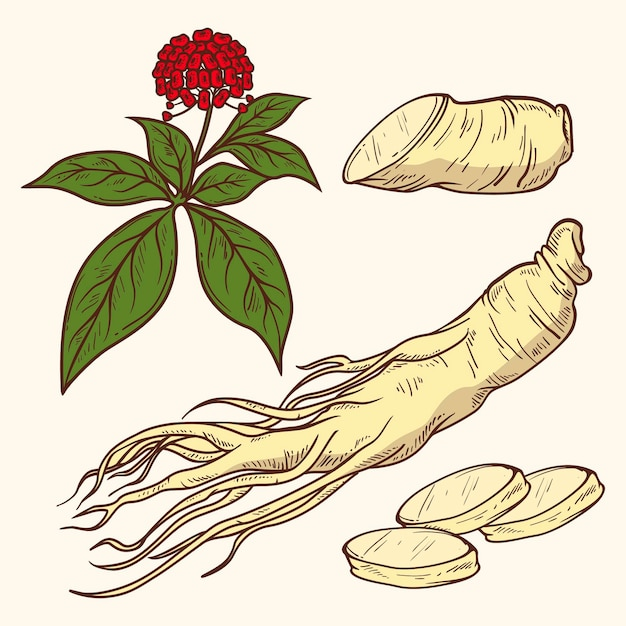 Collection De Plantes De Ginseng Dessinés à La Main Réaliste Vecteur gratuit