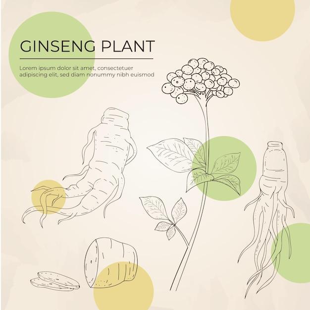 Collection De Plantes De Ginseng Dessinés à La Main Réaliste Vecteur Premium