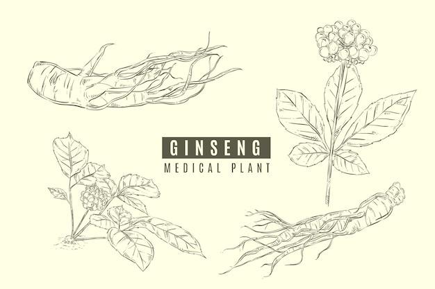 Collection De Plantes De Ginseng Vecteur Premium