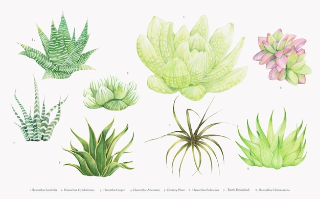 Collection de plantes haworthia dessinés à la main Vecteur gratuit