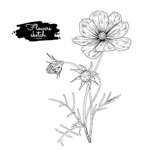 Collection sketch floral botany, dessins de fleurs cosmos. Vecteur Premium