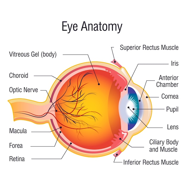 Concept D'info Anatomie Oculaire, Style De Bande Dessinée Vecteur Premium
