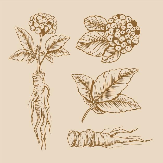 Conception De Dessin De Collection De Plantes De Ginseng Vecteur gratuit