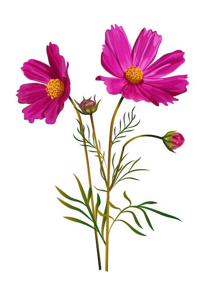 Cosmos Fleur Rose Couleur Isolée Vecteur Premium