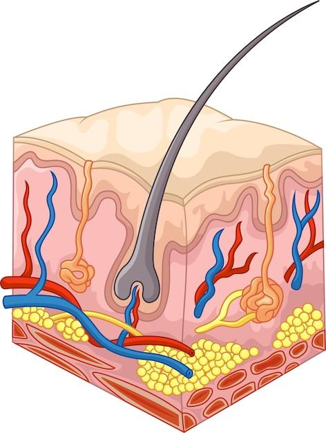 Les couches de peau et les pores Vecteur Premium
