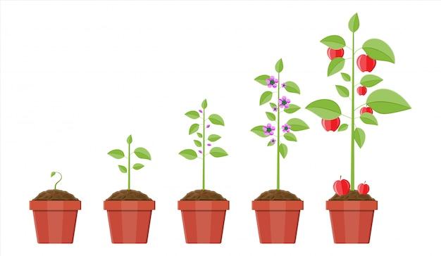 Croissance De La Plante En Pot, De La Germination Au Fruit. Vecteur Premium