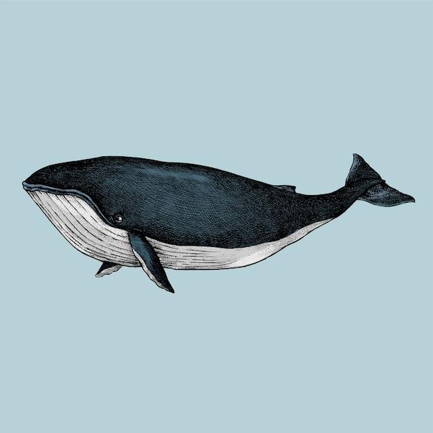 Croquis dessiné de main d'une baleine Vecteur Premium