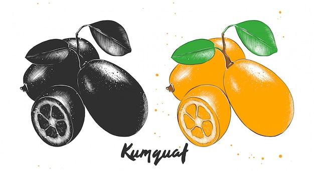 Croquis dessiné à la main de fruits de kumquat Vecteur Premium