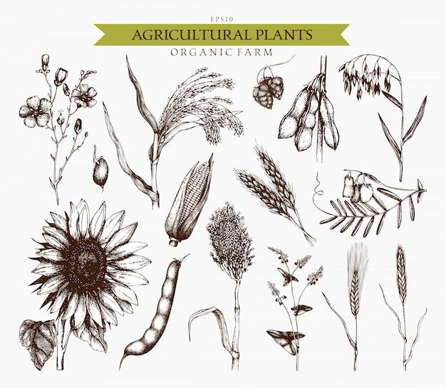 Croquis De Plantes Agricoles Dessinés à La Main. Collection D'illustrations De Céréales Et De Légumineuses à La Main Vecteur Premium