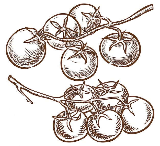 Croquis de vecteur de deux branches de tomates cerises Vecteur Premium