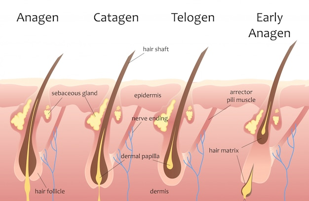 Cycle de croissance des cheveux de la tête humaine Vecteur Premium