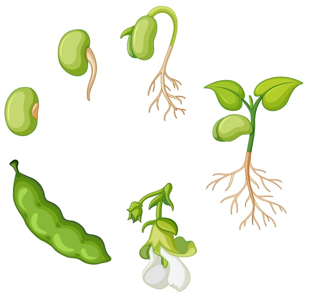 Cycle de vie du haricot vert Vecteur gratuit