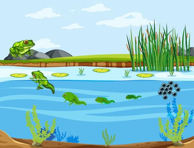 Un cycle de vie de grenouille Vecteur gratuit