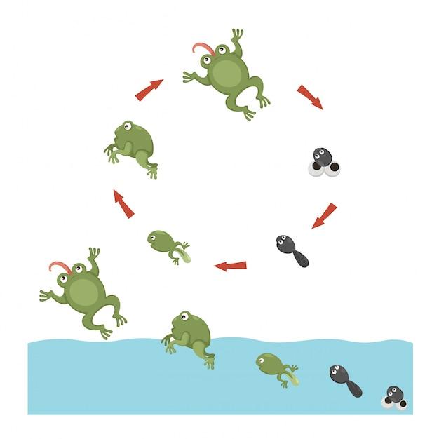 Cycle de vie de la grenouille Vecteur Premium