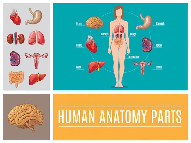 Dessin Animé Anatomie Humaine Pièces Composition Avec Cerveau Foie Estomac Intestin Coeur Rate Reins Poumons Système Reproducteur Féminin Vecteur gratuit