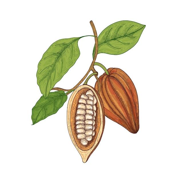 Dessin Botanique Détaillé De Gousses Mûres Entières Et Coupées Ou De Fruits De Cacaoyer Avec Des Haricots, Des Branches Et Des Feuilles Isolées Vecteur Premium