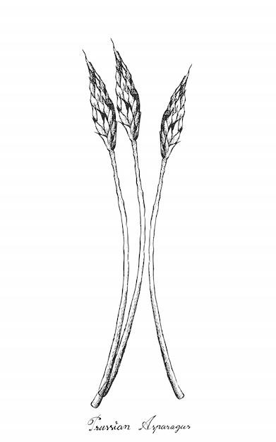 Dessinés à la main d'asperges de prusse sur fond blanc Vecteur Premium