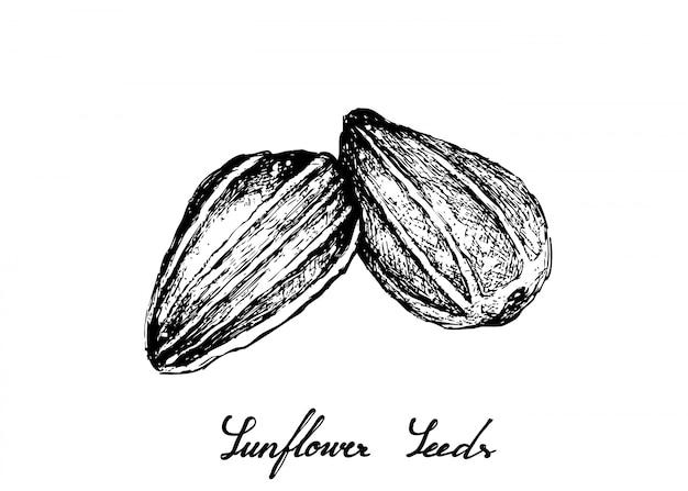 Dessinés à la main des graines de tournesol Vecteur Premium